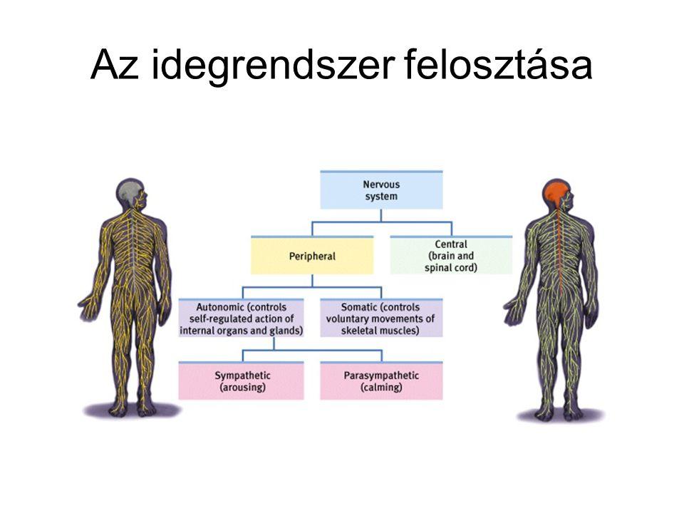 Nyúltvelő (Medulla /oblongata/) Vérnyomás szabályozása, légzés Olyan neuron-csoportokat is tartalmaz, melyek érintettek: ízlelés hallás egyensúly megtartása nyaki- és arcizmok kontrollja