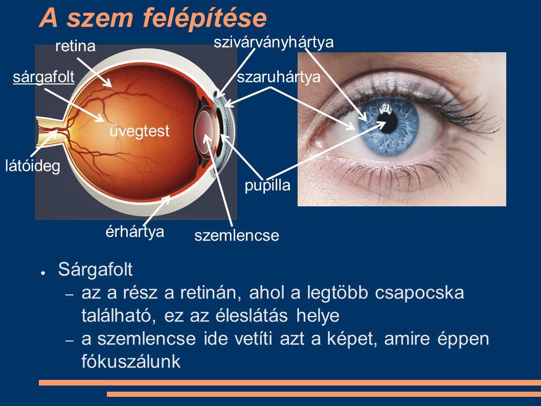 A szem felépítése ● Sárgafolt – az a rész a retinán, ahol a legtöbb csapocska található, ez az éleslátás helye – a szemlencse ide vetíti azt a képet,