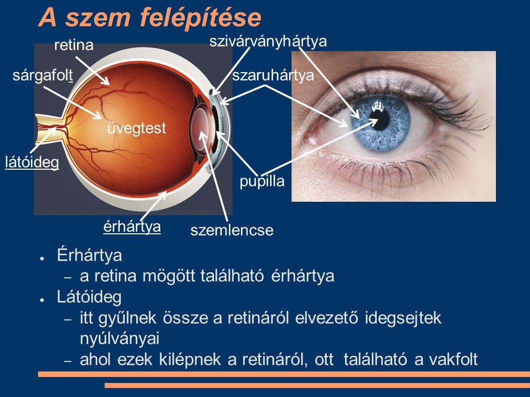 A szem felépítése ● Érhártya – a retina mögött található érhártya ● Látóideg – itt gyűlnek össze a retináról elvezető idegsejtek nyúlványai – ahol eze