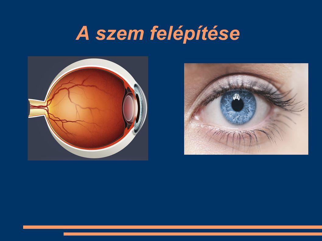 ● Szaruhártya – a szem legkülső rétege – védi a szemlencsét és a szivárványhártyát – már ez is megtöri a fényt szivárványhártya szaruhártya pupilla retina sárgafolt látóideg érhártya üvegtest szemlencse