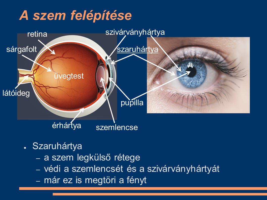 A szem felépítése ● Szivárványhártya – a lencsére jutó fény mennyiségét szabályozza – sok színanyag van benne ‒ visszaveri a fényt ‒ színes – összehúzódik és kitágul a fényviszonyoknak megfelelően szivárványhártya szaruhártya pupilla retina sárgafolt látóideg érhártya üvegtest szemlencse
