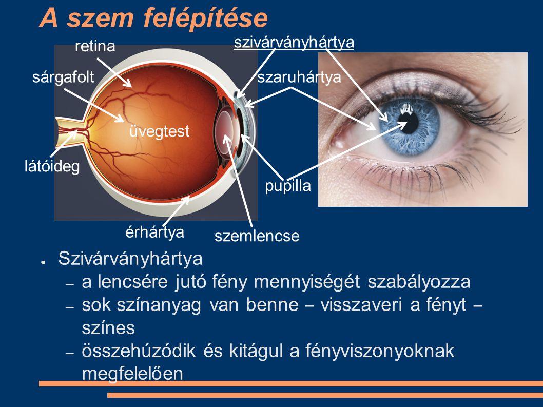 A szem felépítése ● Pupilla – 2-6 mm átmérőjű kerek nyílás – a szivárványhártyán levő rés – látszólag a pupilla szűkül és tágul ( DE NEM!) – ezen keresztül jut a fény a lencsébe szivárványhártya szaruhártya pupilla retina sárgafolt látóideg érhártya üvegtest szemlencse