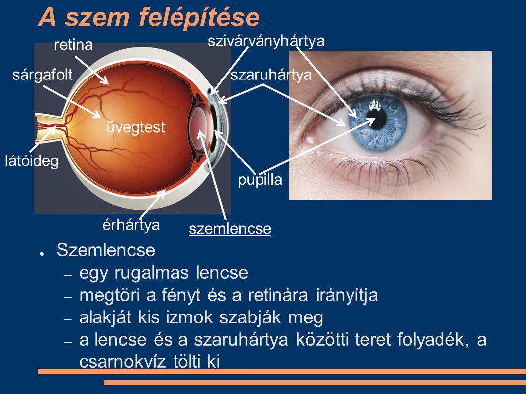 A szem felépítése ● Üvegtest – az üvegtest kocsonyás anyag, nincs más dolga, mint kitölteni a lencse és a retina közötti teret szivárványhártya szaruhártya pupilla retina sárgafolt látóideg érhártya üvegtest szemlencse