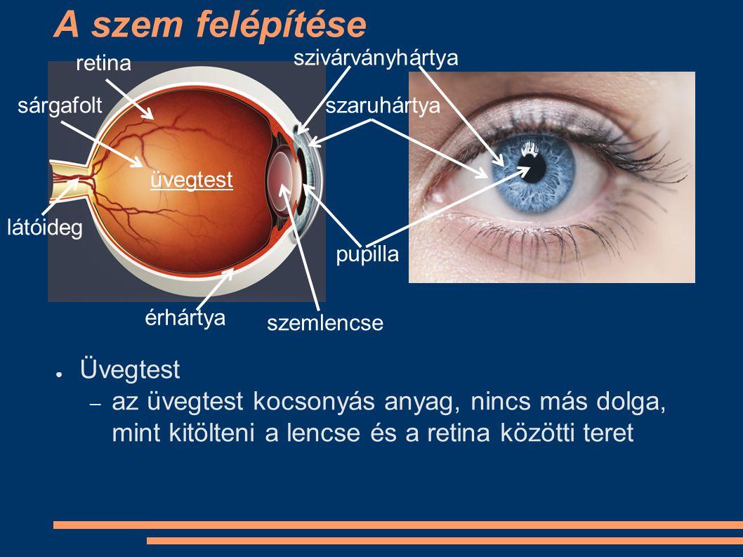 A szem felépítése ● Üvegtest – az üvegtest kocsonyás anyag, nincs más dolga, mint kitölteni a lencse és a retina közötti teret szivárványhártya szaruh