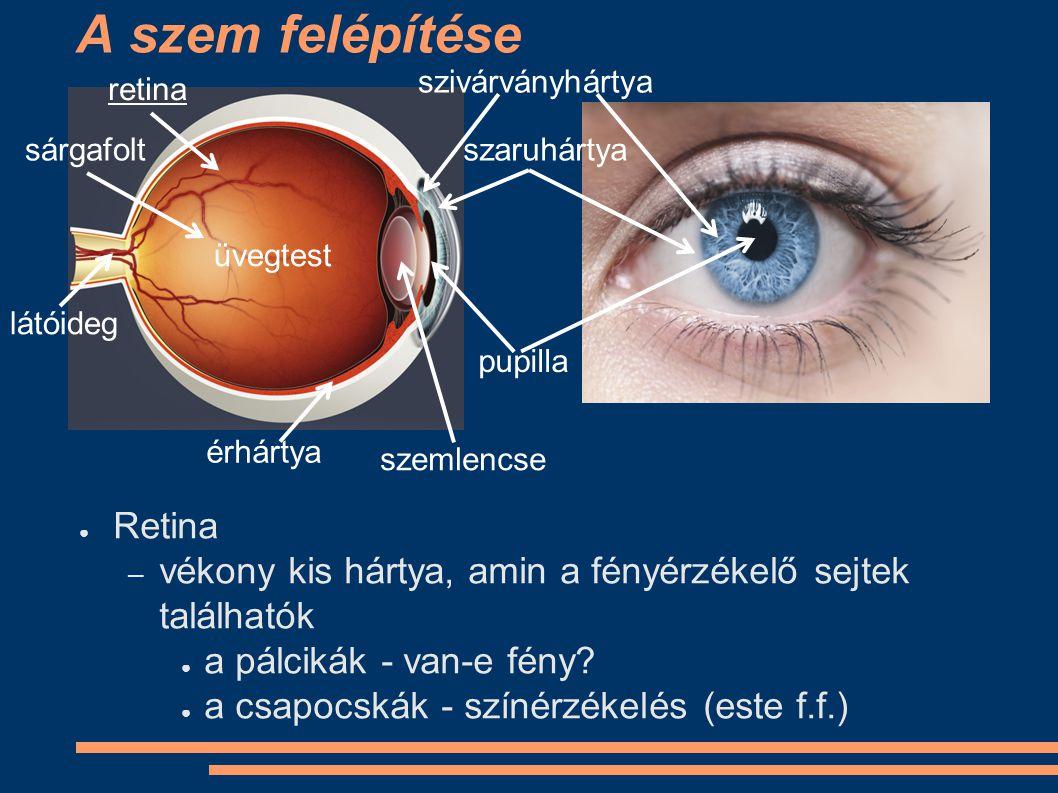 A szem felépítése ● Sárgafolt – az a rész a retinán, ahol a legtöbb csapocska található, ez az éleslátás helye – a szemlencse ide vetíti azt a képet, amire éppen fókuszálunk szivárványhártya szaruhártya pupilla retina sárgafolt látóideg érhártya üvegtest szemlencse