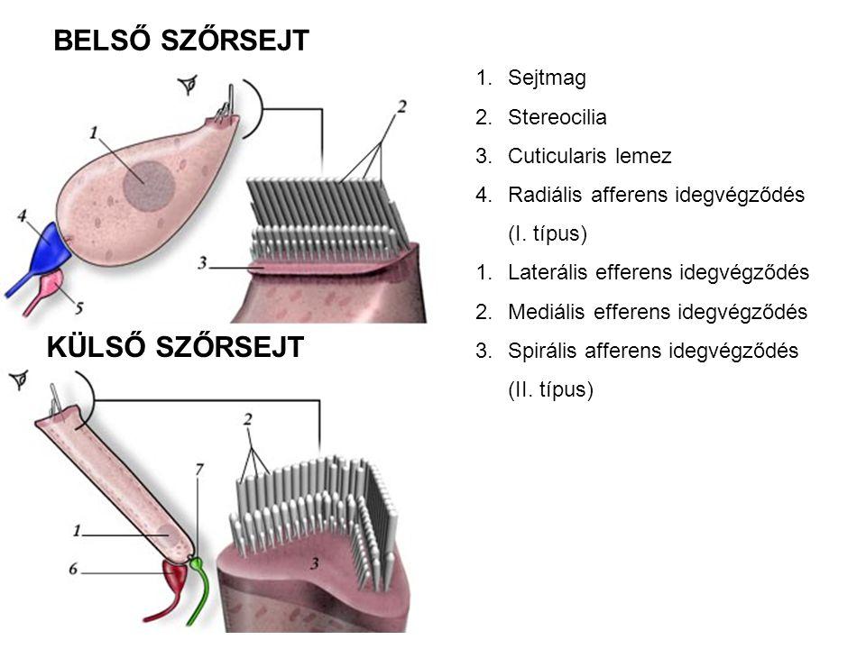 1.Sejtmag 2.Stereocilia 3.Cuticularis lemez 4.Radiális afferens idegvégződés (I. típus) 1.Laterális efferens idegvégződés 2.Mediális efferens idegvégz