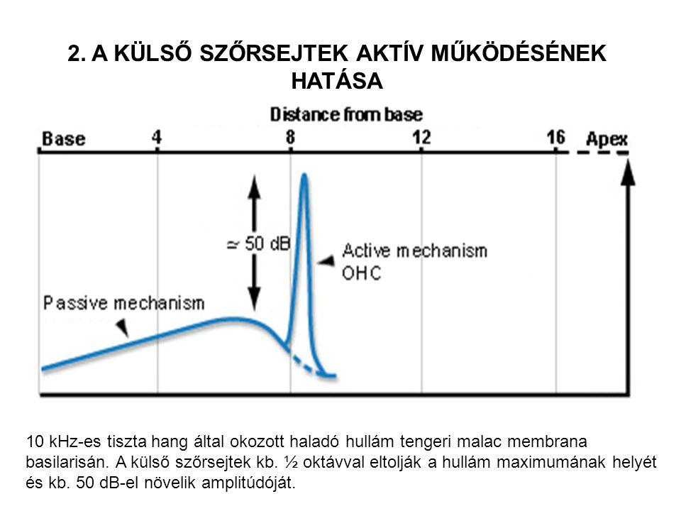10 kHz-es tiszta hang által okozott haladó hullám tengeri malac membrana basilarisán. A külső szőrsejtek kb. ½ oktávval eltolják a hullám maximumának