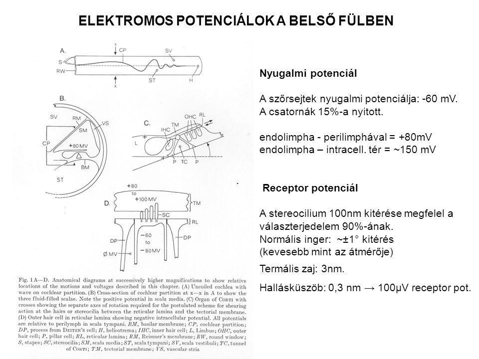 . ELEKTROMOS POTENCIÁLOK A BELSŐ FÜLBEN Nyugalmi potenciál A szőrsejtek nyugalmi potenciálja: -60 mV. A csatornák 15%-a nyitott. endolimpha - perilimp