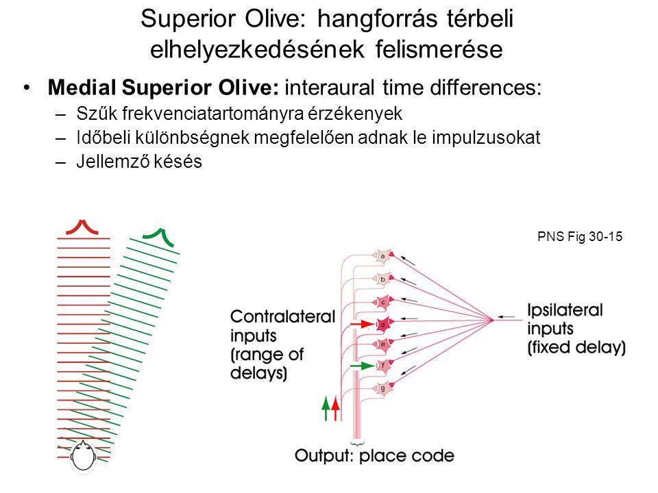 Superior Olive: hangforrás térbeli elhelyezkedésének felismerése Medial Superior Olive: interaural time differences: –Szűk frekvenciatartományra érzék