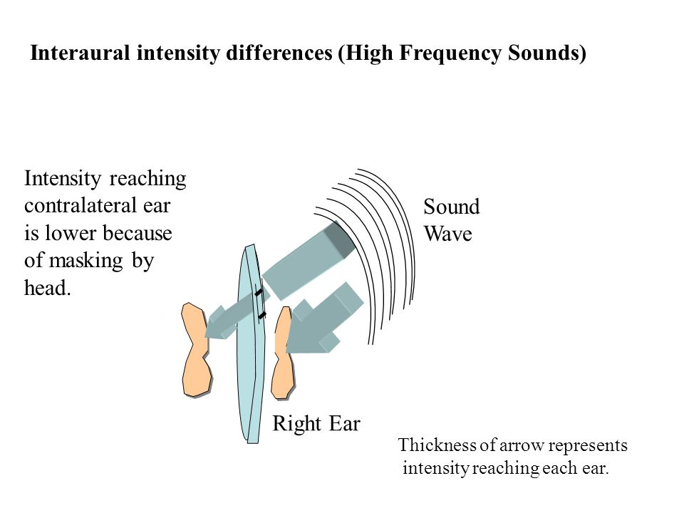 Interaural intensity differences (High Frequency Sounds) Thickness of arrow represents intensity reaching each ear.