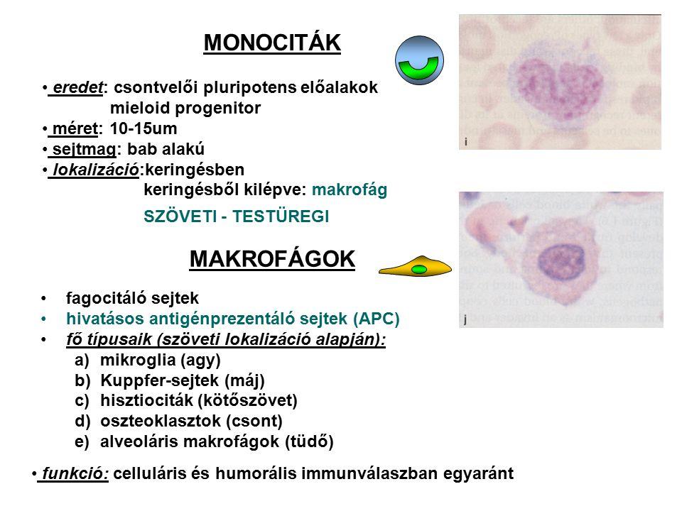 MONOCITÁK eredet: csontvelői pluripotens előalakok mieloid progenitor méret: 10-15um sejtmag: bab alakú lokalizáció:keringésben keringésből kilépve: m