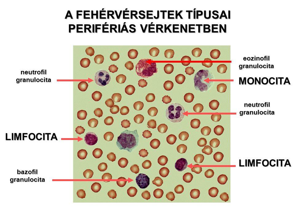 LIMFOCITA LIMFOCITA MONOCITA neutrofil granulocita bazofil granulocita neutrofil granulocita eozinofil granulocita A FEHÉRVÉRSEJTEK TÍPUSAI PERIFÉRIÁS