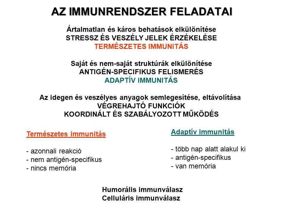 HÍZÓSEJTEK eredet: csontvelői pluripotens előalakok, mieloid progenitor sejtek lokalizáció: keringésben nincsenek jelen szöveti térben differenciálódnak főként a kis erek környékére lokalizálódnak funkció: aktiválás során a belőlük felszabaduló anyagok az erek permeabilitását szabályozzák természetes és adaptív immunválaszban egyaránt allergiás folyamatok fő effektor sejtjei (Fc  RI a felszínen) fő típusaik: a) mukóza jellegű hízósejtek b) kötőszöveti hízósejtek