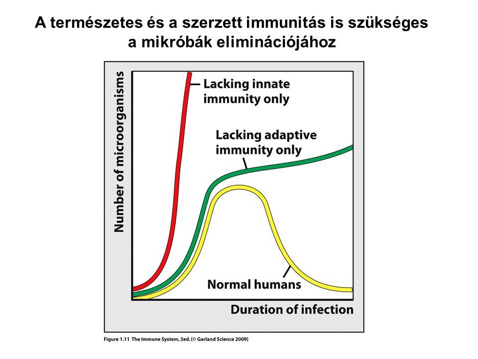 eredet: csontvelői pluripotens előalakok limfoid progenitor fejlődés: Bursa ekvivalens szövetekben (magzati máj, majd csontvelő) lokalizáció: a keringésben lévő limfociták 5-10%-a B-limfocita a csontvelőből keringésen keresztül a másodlagos nyirokszervekbe vándorolnak - hivatásos antigénprezentáló sejtek (APC) aktiválás: antigén, makrofággal vagy T-limfocitával való kölcsönhatás, limfokinek, citokinek aktiválás során plazmasejtté vagy memóriasejtté differenciálódnak B-LIMFOCITÁK PLAZMASEJTEK funkció: ellenanyag termelés humorális immunválasz