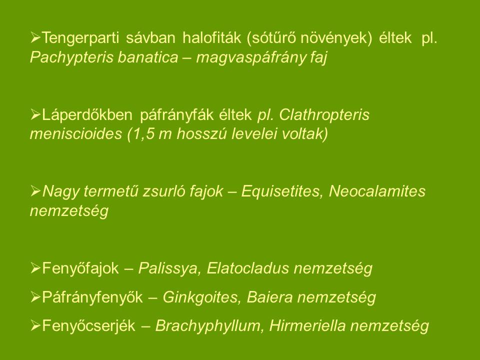  Tengerparti sávban halofiták (sótűrő növények) éltek pl. Pachypteris banatica – magvaspáfrány faj  Láperdőkben páfrányfák éltek pl. Clathropteris m