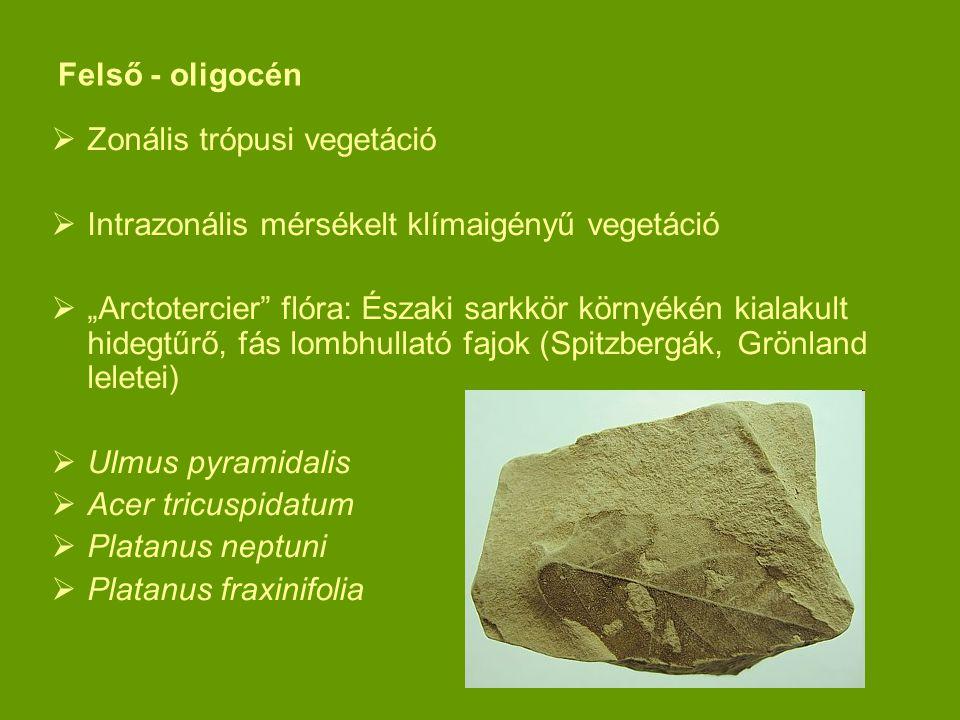 """Felső - oligocén  Zonális trópusi vegetáció  Intrazonális mérsékelt klímaigényű vegetáció  """"Arctotercier"""" flóra: Északi sarkkör környékén kialakult"""