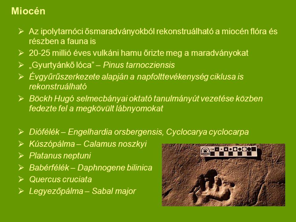 Miocén  Az ipolytarnóci ősmaradványokból rekonstruálható a miocén flóra és részben a fauna is  20-25 millió éves vulkáni hamu őrizte meg a maradvány