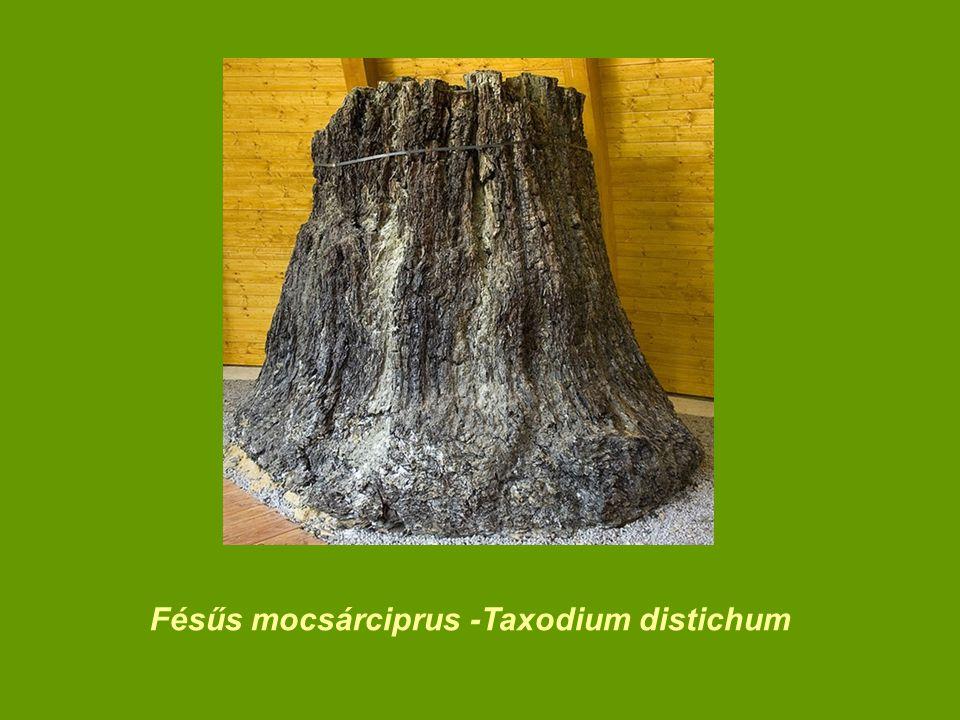 Fésűs mocsárciprus -Taxodium distichum