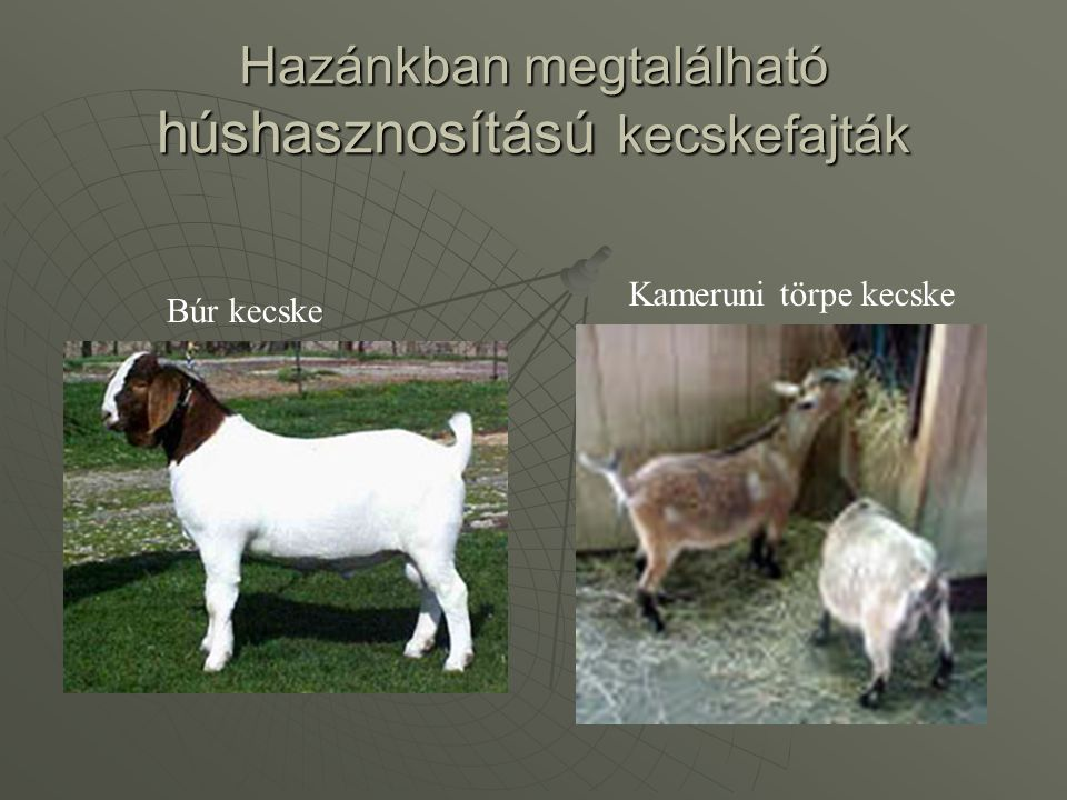 Hazánkban megtalálható húshasznosítású kecskefajták Búr kecske Kameruni törpe kecske