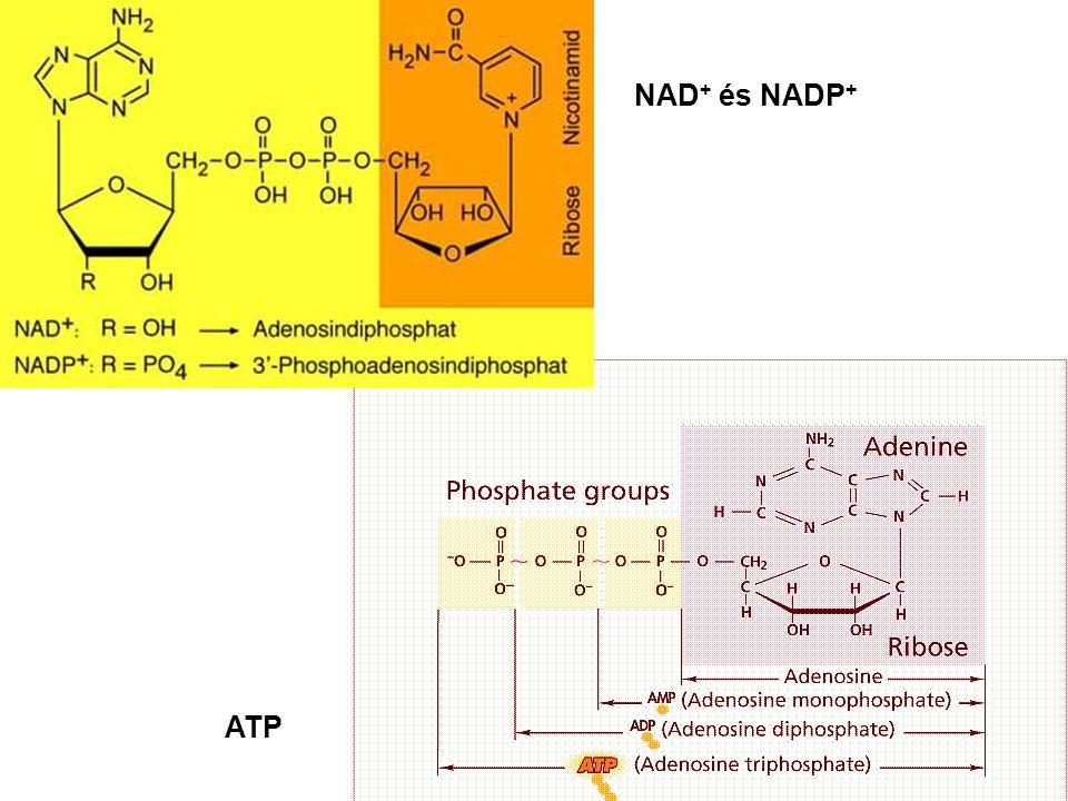NAD + és NADP + ATP