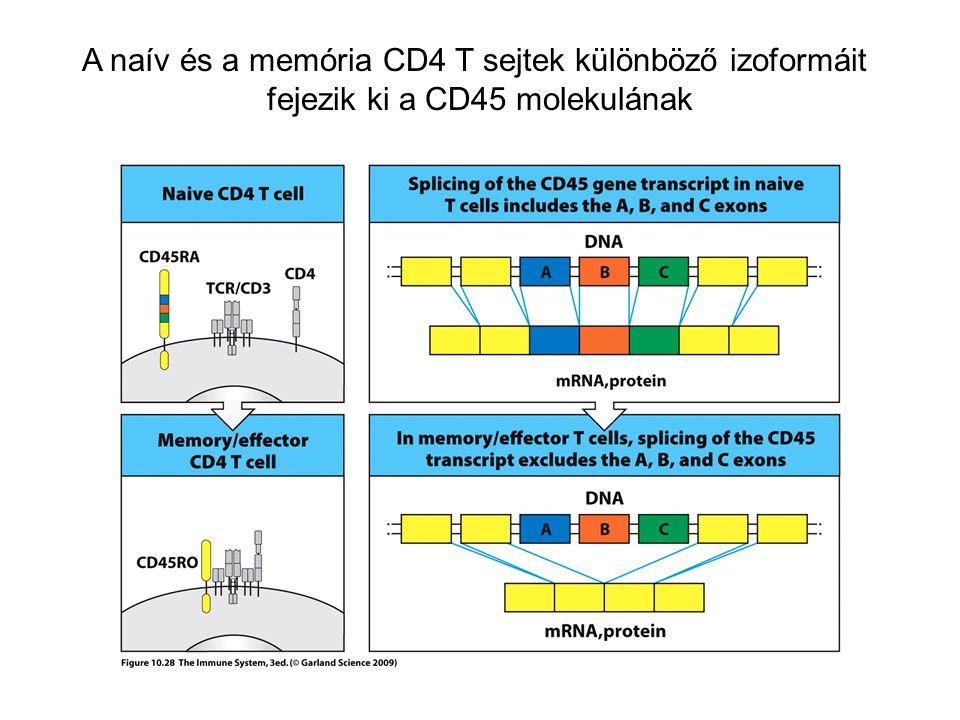 A naív és a memória CD4 T sejtek különböző izoformáit fejezik ki a CD45 molekulának