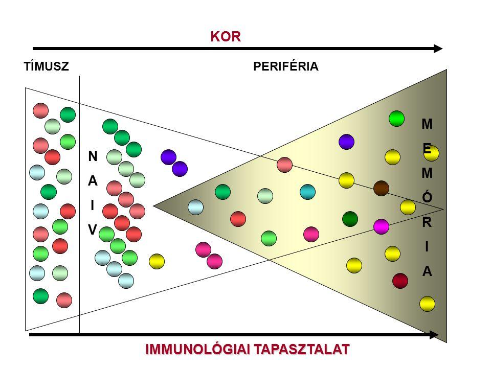 KOR TÍMUSZPERIFÉRIA NAIVNAIV IMMUNOLÓGIAI TAPASZTALAT MEMÓRIAMEMÓRIA