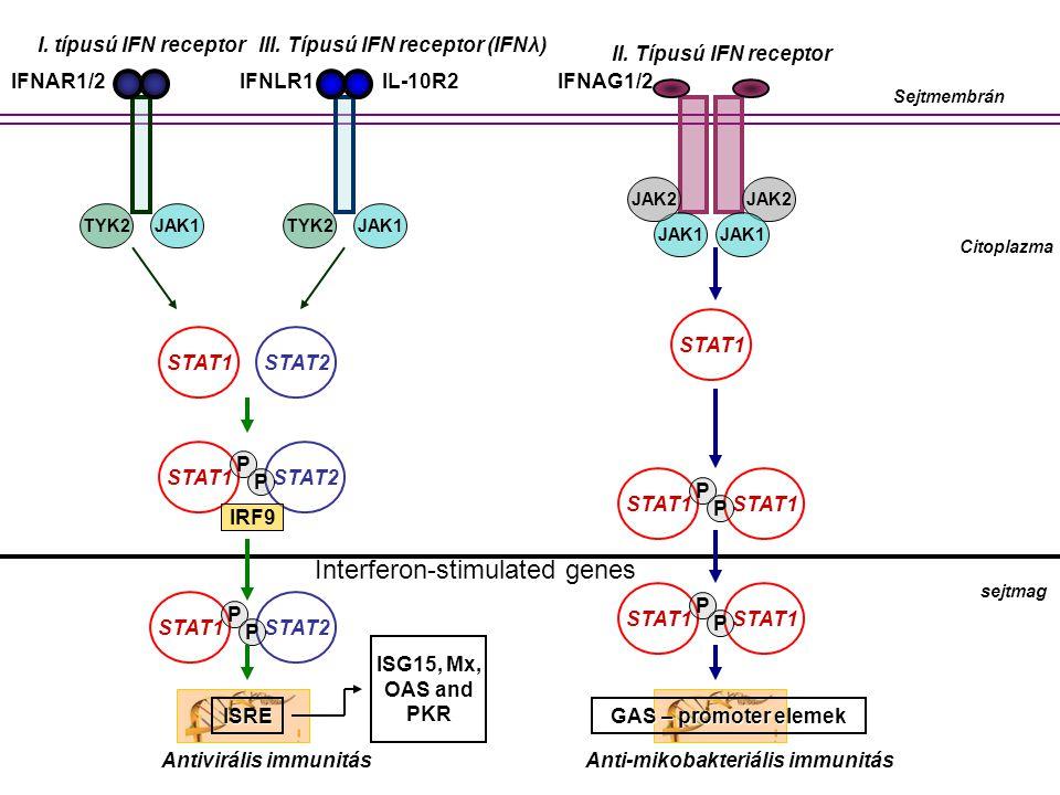 Sejtmembrán Citoplazma I. típusú IFN receptor II. Típusú IFN receptor III. Típusú IFN receptor (IFNλ) TYK2JAK1TYK2JAK1 JAK2 JAK1 JAK2 STAT1 STAT2 sejt