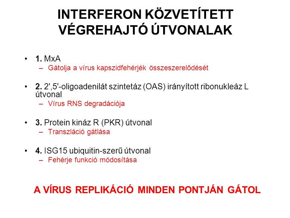 INTERFERON KÖZVETÍTETT VÉGREHAJTÓ ÚTVONALAK 1. MxA –Gátolja a vírus kapszidfehérjék összeszerelődését 2. 2',5'-oligoadenilát szintetáz (OAS) irányítot