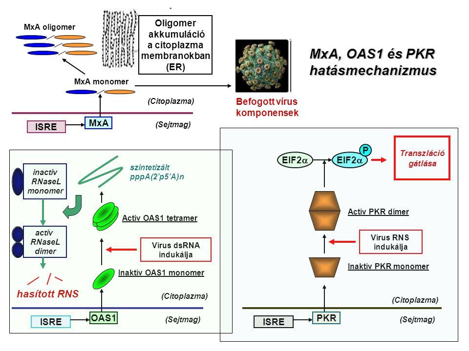 Oligomer akkumuláció a citoplazma membranokban (ER) (Sejtmag) (Citoplazma) ISRE MxA MxA monomer MxA oligomer Befogott vírus komponensek (Sejtmag) (Cit
