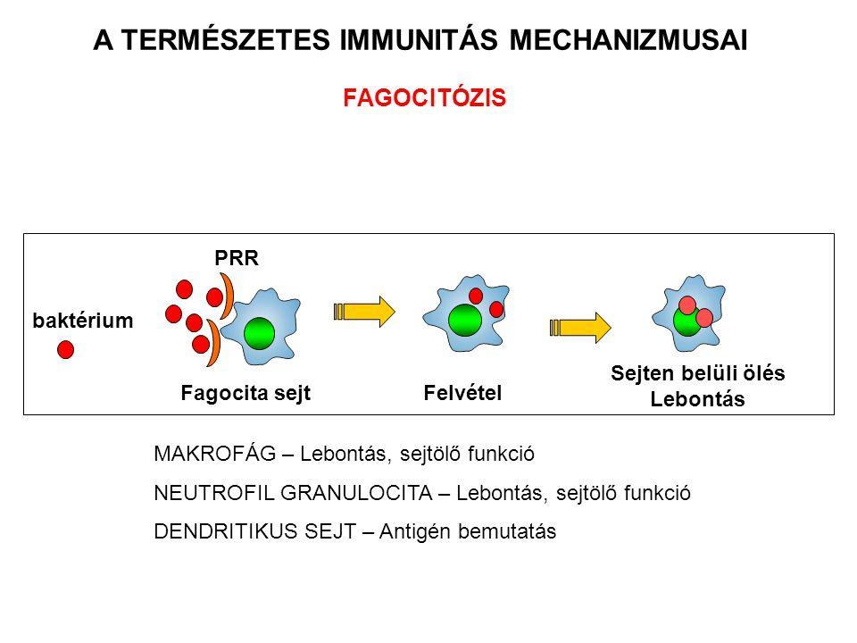 Sejten belüli ölés Lebontás FAGOCITÓZIS Fagocita sejt baktérium A TERMÉSZETES IMMUNITÁS MECHANIZMUSAI PRR Felvétel MAKROFÁG – Lebontás, sejtölő funkció NEUTROFIL GRANULOCITA – Lebontás, sejtölő funkció DENDRITIKUS SEJT – Antigén bemutatás