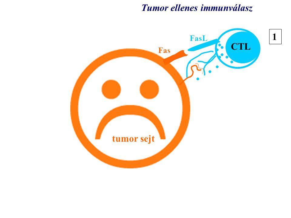 tumor tumor sejt CTL Tumor ellenes immunválasz 1 Fas FasL