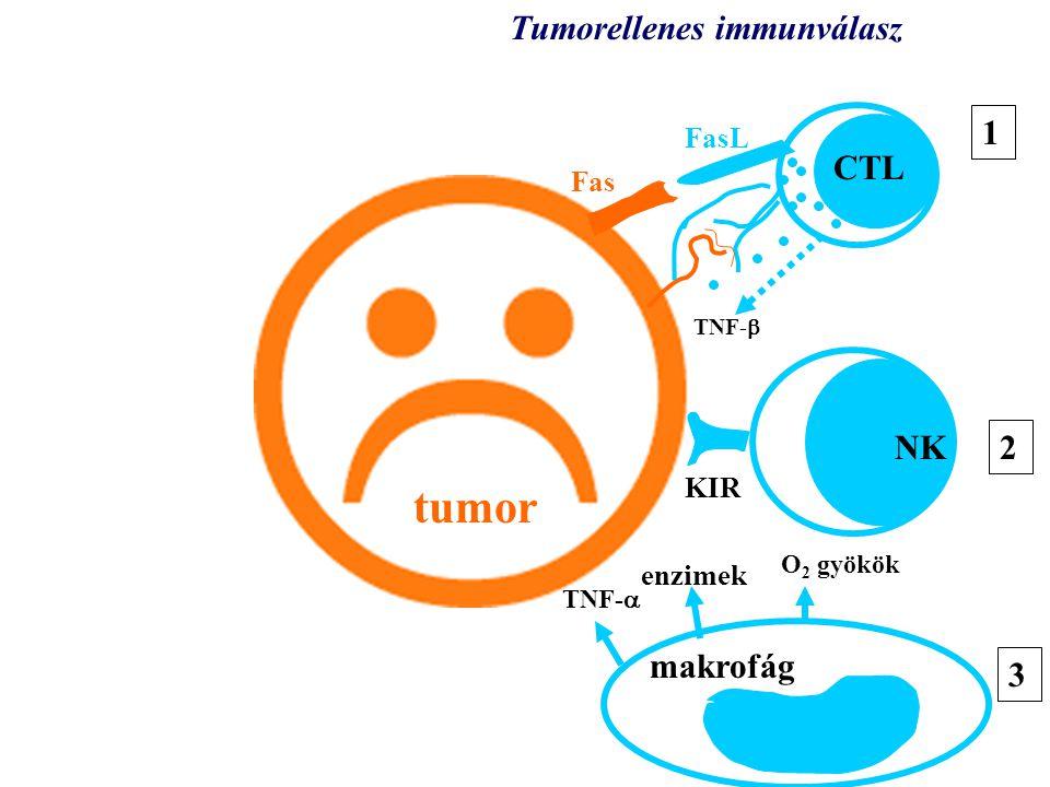tumor KIR TNF-  CTL NK O 2 gyökök enzimek TNF-  makrofág Tumorellenes immunválasz 1 3 2 3 Fas FasL
