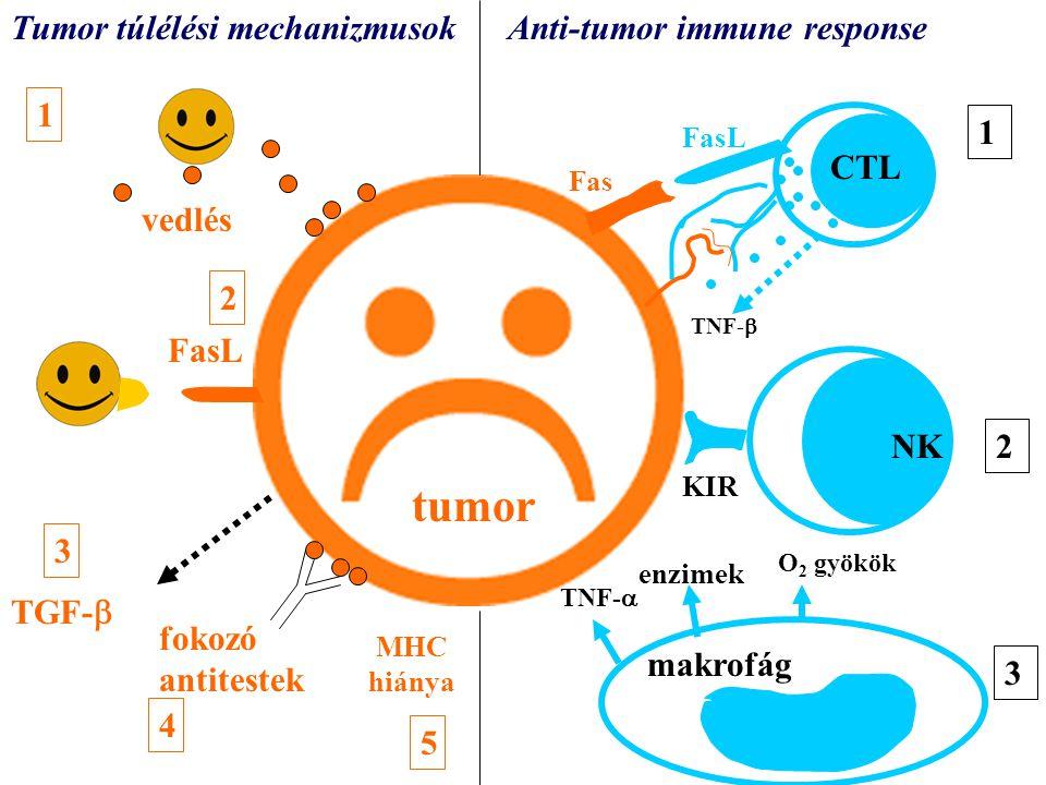 tumor FasL KIR vedlés TGF-  fokozó antitestek TNF-  CTL NK O 2 gyökök enzimek TNF-  makrofág Tumor túlélési mechanizmusokAnti-tumor immune response