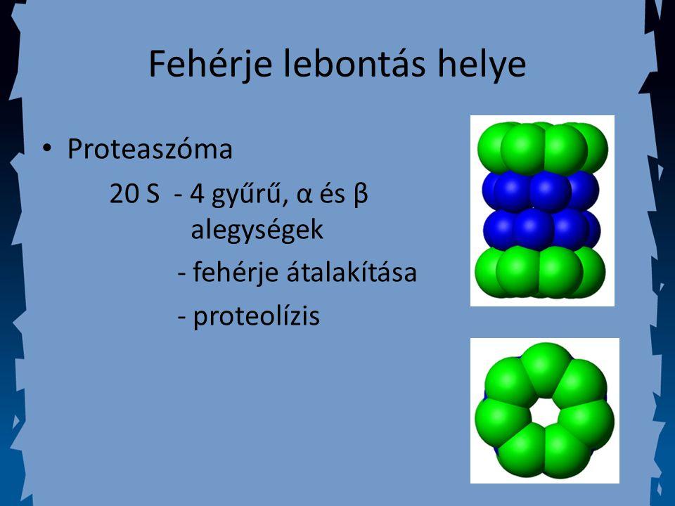 Proteaszóma 20 S - 4 gyűrű, α és β alegységek - fehérje átalakítása - proteolízis