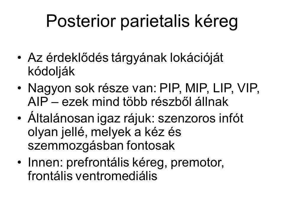 Posterior parietalis kéreg Az érdeklődés tárgyának lokációját kódolják Nagyon sok része van: PIP, MIP, LIP, VIP, AIP – ezek mind több részből állnak Á