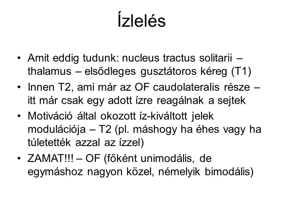 Ízlelés Amit eddig tudunk: nucleus tractus solitarii – thalamus – elsődleges gusztátoros kéreg (T1) Innen T2, ami már az OF caudolateralis része – itt