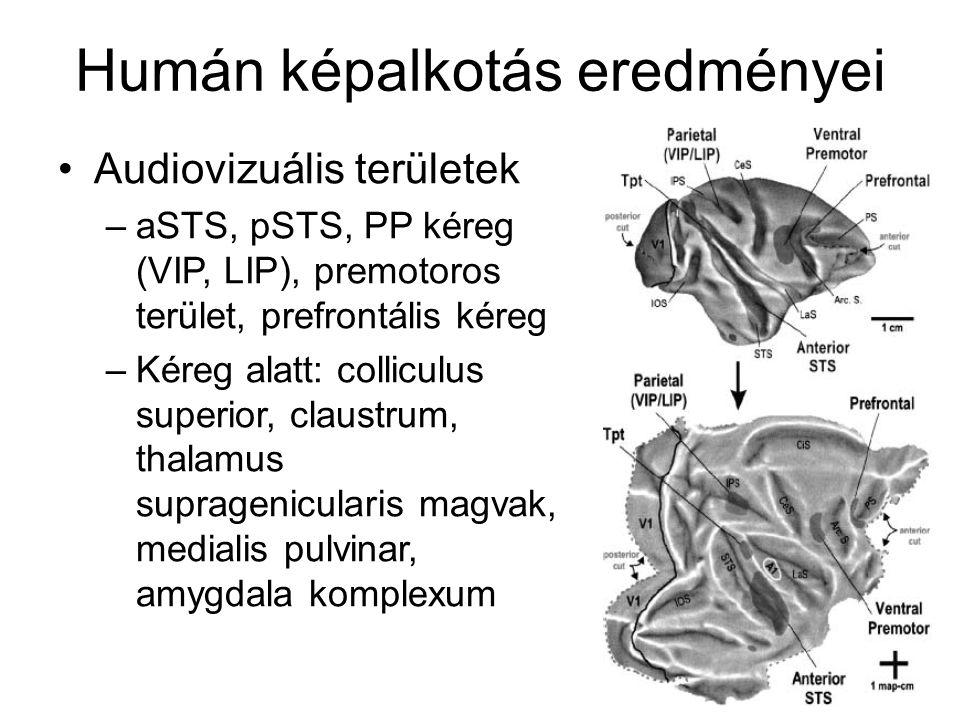 Humán képalkotás eredményei Audiovizuális területek –aSTS, pSTS, PP kéreg (VIP, LIP), premotoros terület, prefrontális kéreg –Kéreg alatt: colliculus