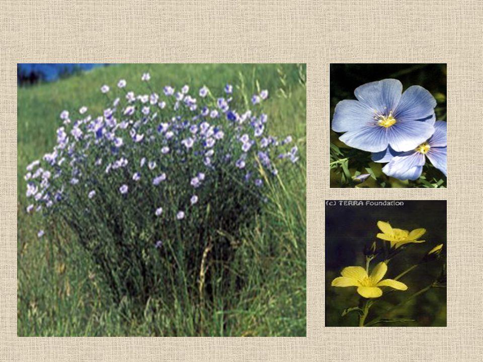 Textilipari célra csak egyetlen fajtát termesztenek (Linum usitatissimum),amelyik egynyári, kék virágú és zárttokú.