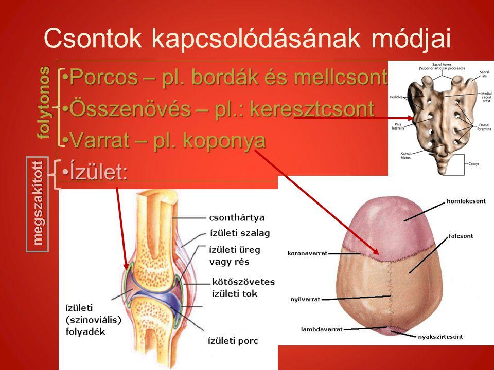 Csontok kapcsolódásának módjai Porcos – pl. bordák és mellcsontPorcos – pl. bordák és mellcsont Összenövés – pl.: keresztcsontÖsszenövés – pl.: keresz