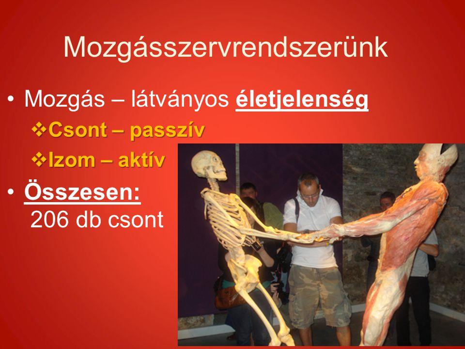 Mozgásszervrendszerünk Mozgás – látványos életjelenség  Csont – passzív  Izom – aktív Összesen: 206 db csont