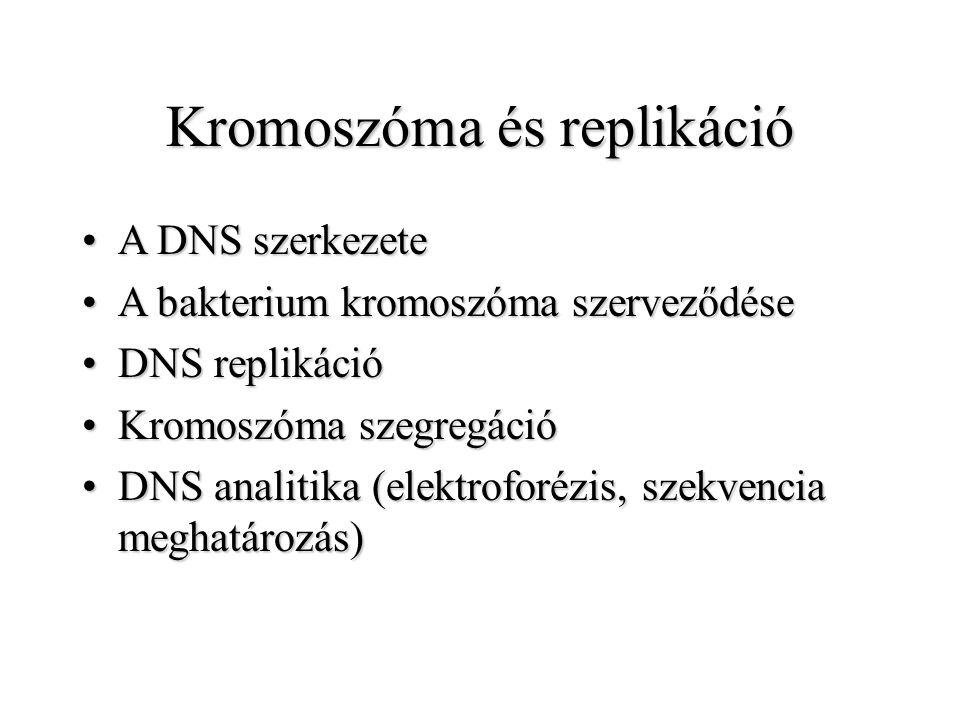 Kromoszóma és replikáció A DNS szerkezeteA DNS szerkezete A bakterium kromoszóma szerveződéseA bakterium kromoszóma szerveződése DNS replikációDNS rep