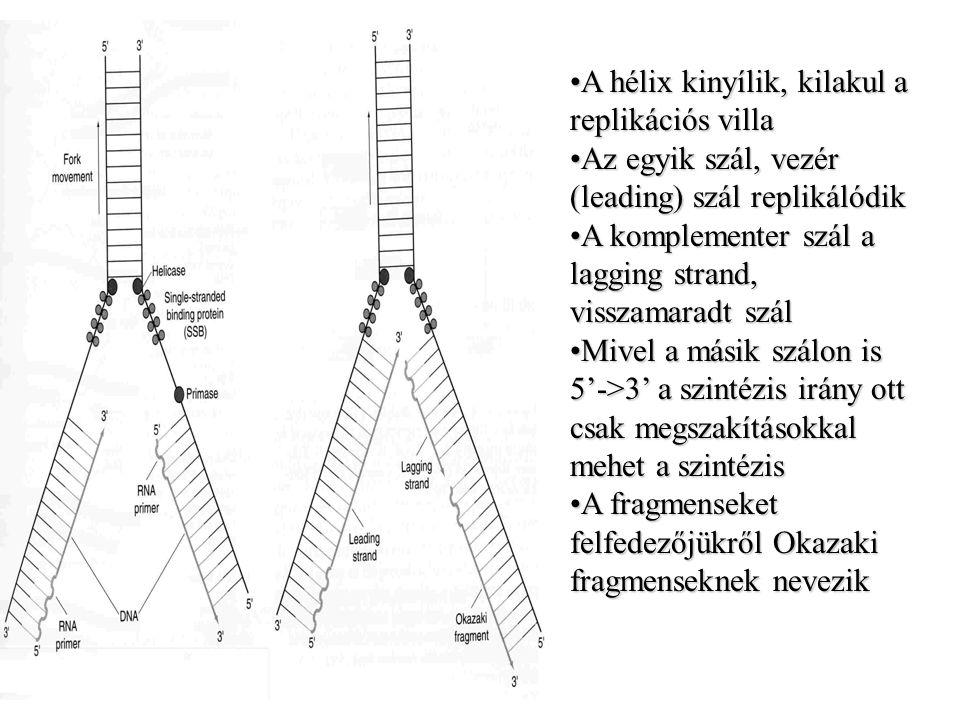 A hélix kinyílik, kilakul a replikációs villaA hélix kinyílik, kilakul a replikációs villa Az egyik szál, vezér (leading) szál replikálódikAz egyik sz