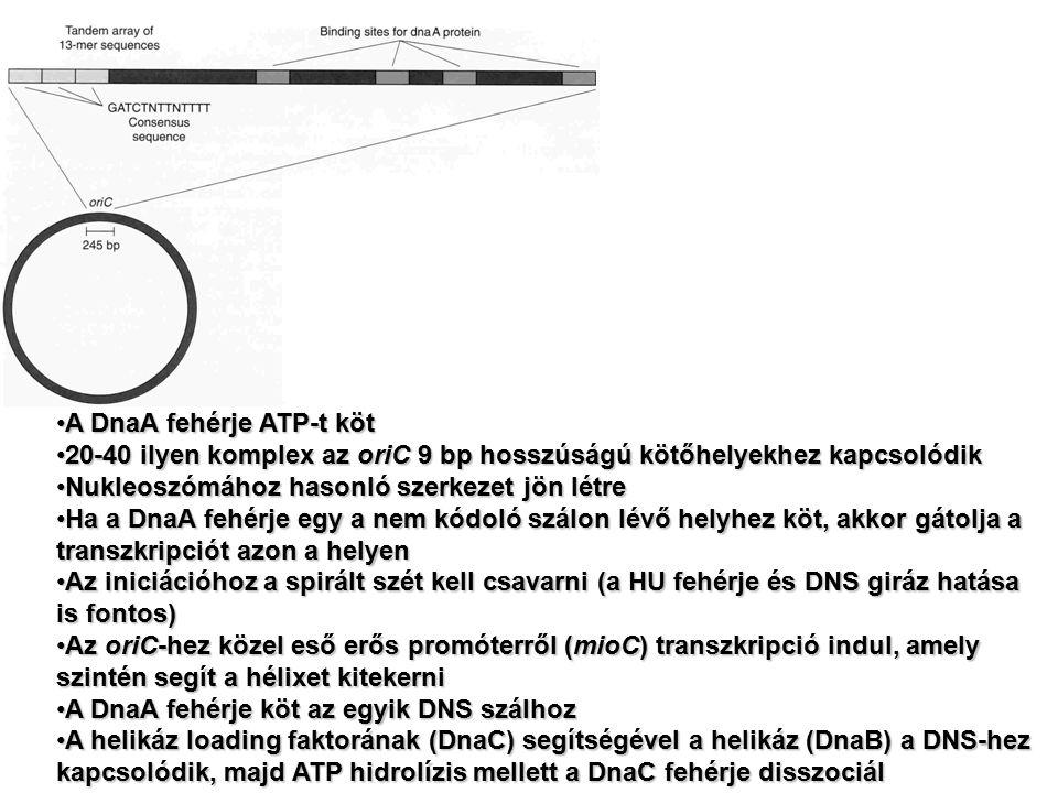 A DnaA fehérje ATP-t kötA DnaA fehérje ATP-t köt 20-40 ilyen komplex az oriC 9 bp hosszúságú kötőhelyekhez kapcsolódik20-40 ilyen komplex az oriC 9 bp