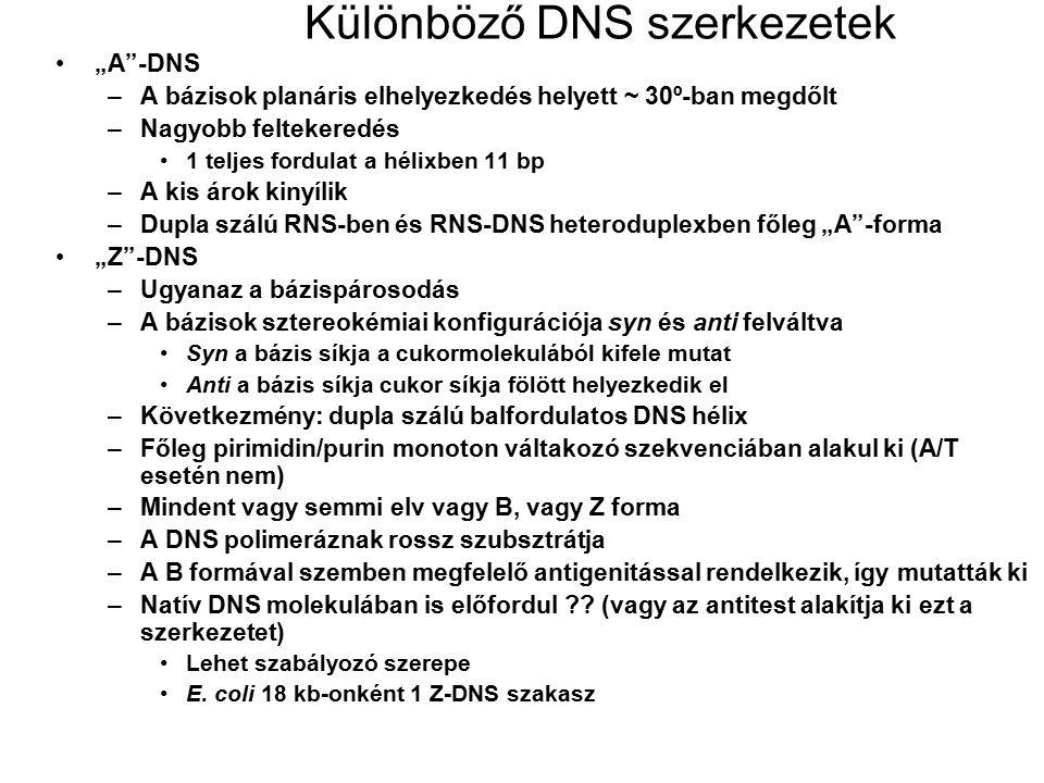 """Különböző DNS szerkezetek """"A""""-DNS –A bázisok planáris elhelyezkedés helyett ~ 30º-ban megdőlt –Nagyobb feltekeredés 1 teljes fordulat a hélixben 11 bp"""