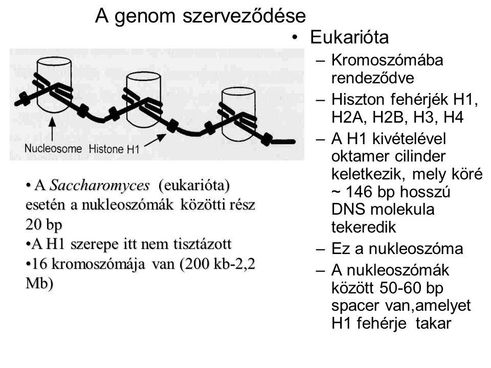 A genom szerveződése Eukarióta –Kromoszómába rendeződve –Hiszton fehérjék H1, H2A, H2B, H3, H4 –A H1 kivételével oktamer cilinder keletkezik, mely kör