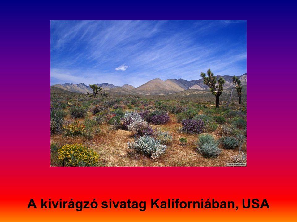 A kivirágzó sivatag Kaliforniában, USA