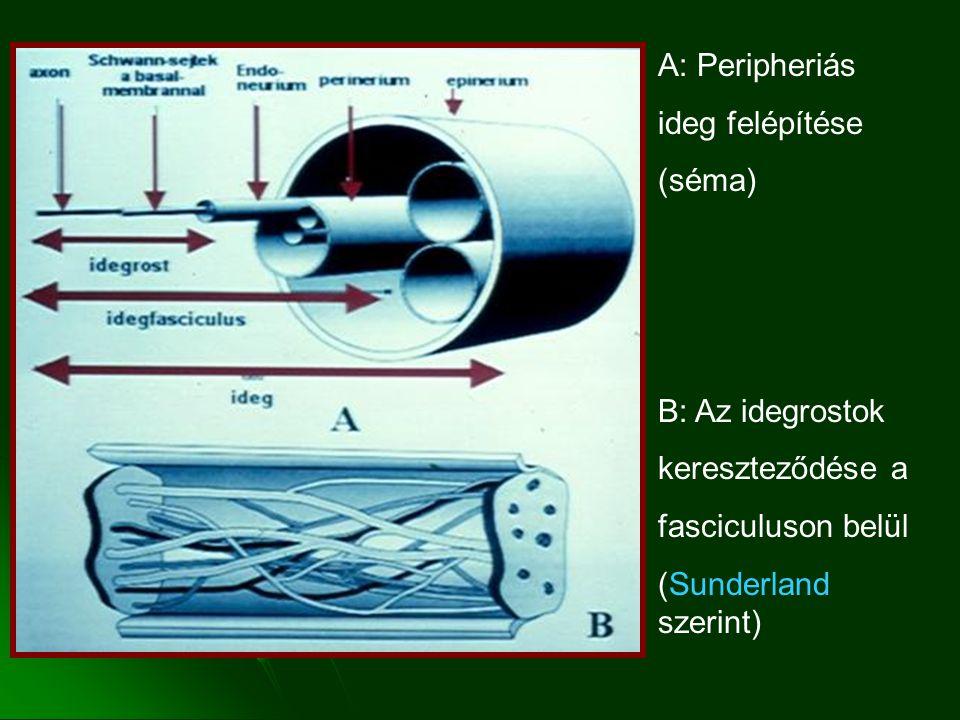 A: Peripheriás ideg felépítése (séma) B: Az idegrostok kereszteződése a fasciculuson belül (Sunderland szerint)
