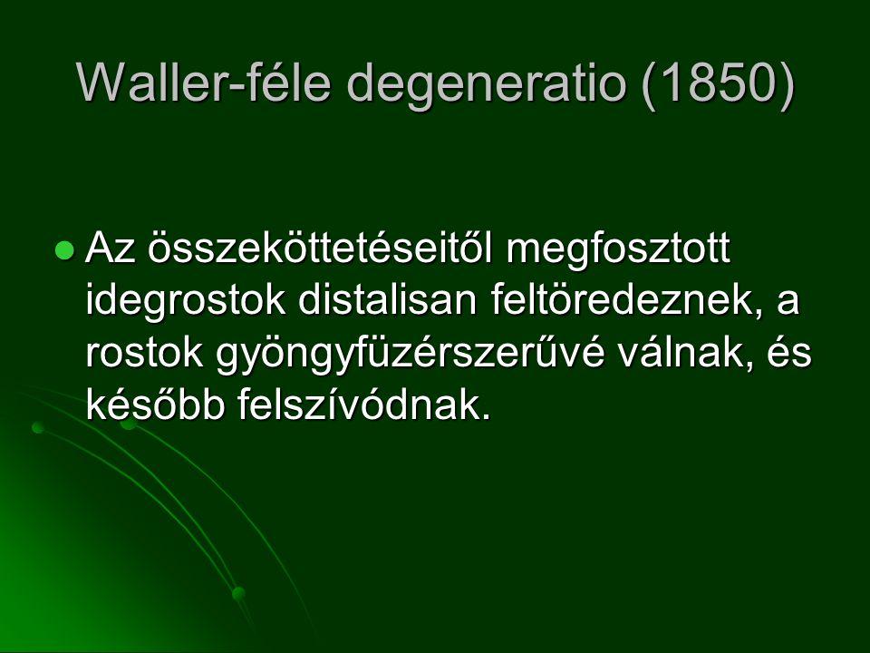 Waller-féle degeneratio (1850) Az összeköttetéseitől megfosztott idegrostok distalisan feltöredeznek, a rostok gyöngyfüzérszerűvé válnak, és később felszívódnak.
