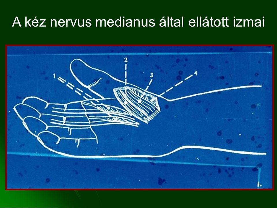 A kéz nervus medianus által ellátott izmai
