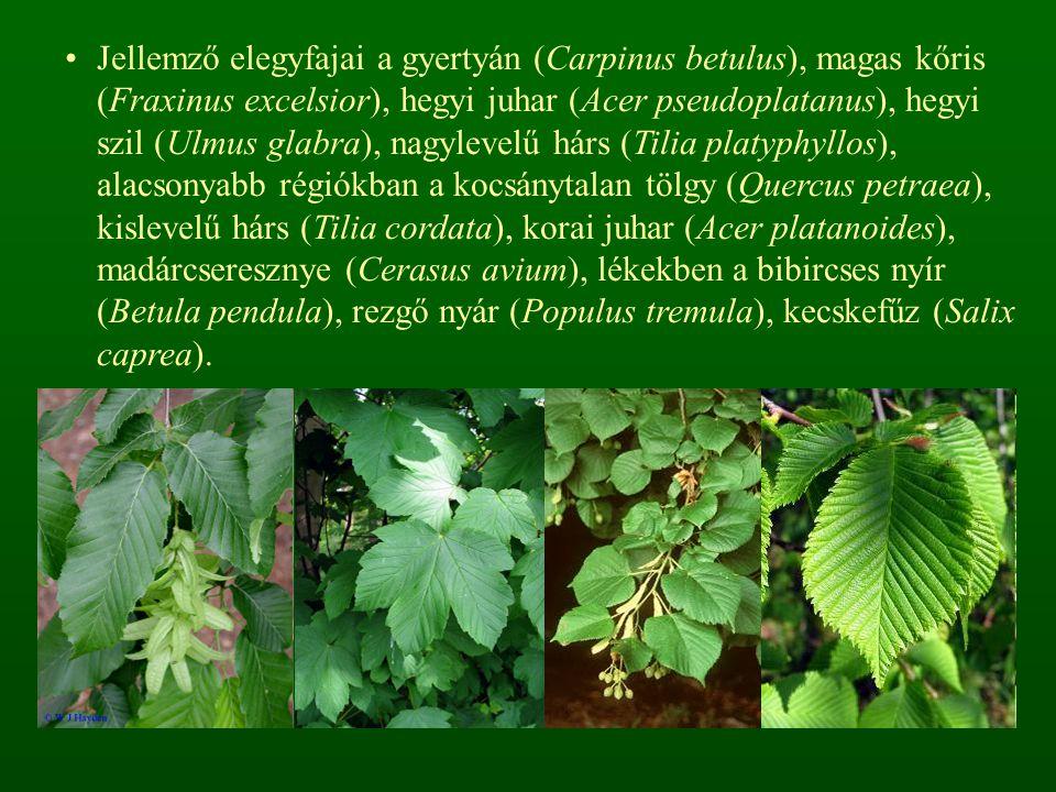 Jellemző elegyfajai a gyertyán (Carpinus betulus), magas kőris (Fraxinus excelsior), hegyi juhar (Acer pseudoplatanus), hegyi szil (Ulmus glabra), nag